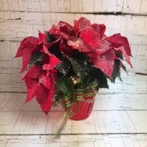 Snowy Poinsettia Blooming Plant