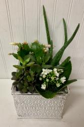 Snowy Succulents