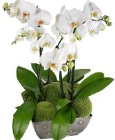 SO CHIC MAJESTIC PHALAENOPSIS  ORCHID