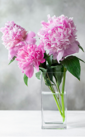 Soft and Tender Peonies