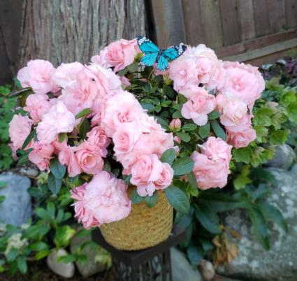 Soft Pink Azalea Blooming Plant