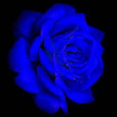 Something blue  Roses