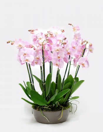 Sophisticate       Mother's Day   Orchid