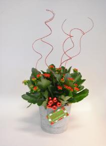 Sparkle & Shine Flowering Plant