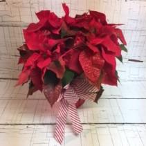 Sparkly Poinsettia Holiday Plant