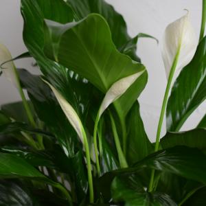 Spathiphyllum  in Jonesboro, AR | POSEY PEDDLER
