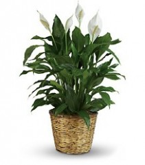 Spathiphyllum Plant -  Easy care