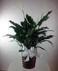 Spathiphyllum Plant -