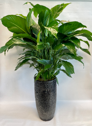 spathiphyllum  plant in Falls Church, VA   Geno's Flowers