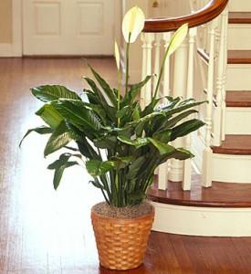 Spathiphyllum Plant for Sympathy plant
