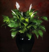 Peace Lily Potted