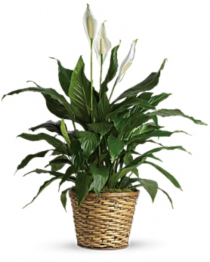 Spathiphyllum  sincere condolences in Falls Church, VA | Geno's Flowers
