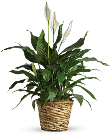 Spathiphyllum  sincere condolences