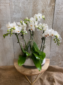 Special Mini Orchids Planter  6 stems of orchids