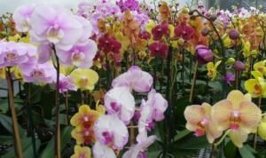 Special Orders Phalaenopsis Orchids Plant in Katy, TX | KD'S FLORIST & GIFTS