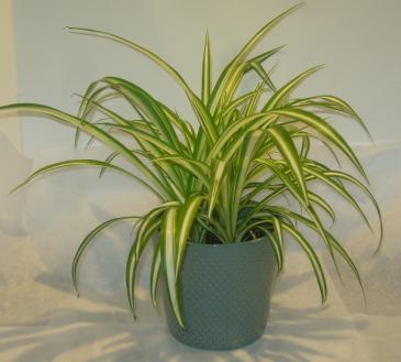 SPIDER PLANT Indoor Plants