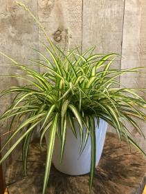 """Spider Plant 8"""" diameter Plant"""