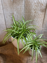 Spider plants green or variagated potted