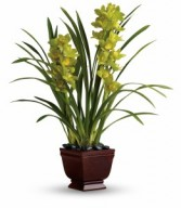Splendid Orchids H1021A