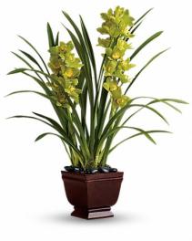 Splendid Orchids Plant