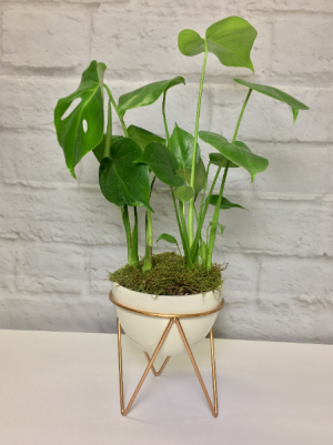 Split Leaf Philodendron  in Unique White Pottery in South Milwaukee, WI | PARKWAY FLORAL INC.