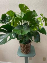 Split Leaf Philodendron  Plant