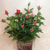 Spray Rose Bush Blooming Plant
