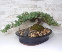 Spreading Juniper Bonsai