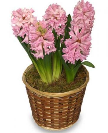Spring hyacinth  Bulb plant