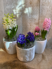 Spring Hyacinths potted plant