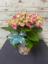 Spring Hydrangea Plant Plant