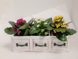 Spring Kalanchoe Collection  in Tottenham, ON | TOTTENHAM FLOWERS & GIFTS