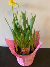 Spring Mixed Bulbs