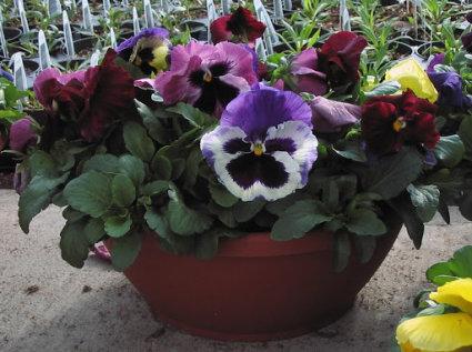 Spring Pansy Bowl Bright and Cheerful