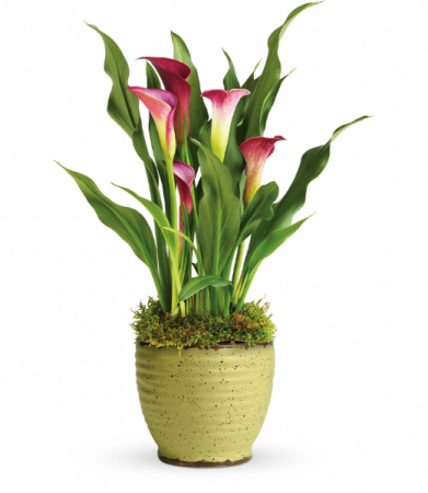 Spring Time Calla Lily Blooming Plant