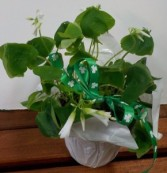 Oaxilus Shamrock looking potted