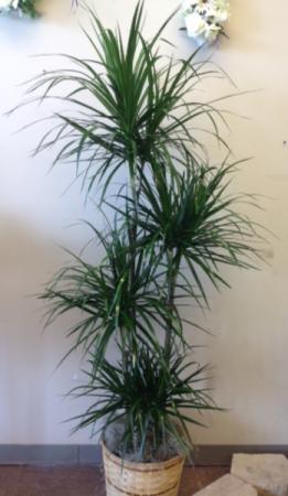 Staggered Marginata Dracaena  (Dragon Tree) Green plant