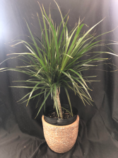 STANDARD RED MARGINED DRACAENA PLANT pet safe house plant