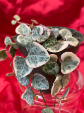 String of Hearts Succulent Plant