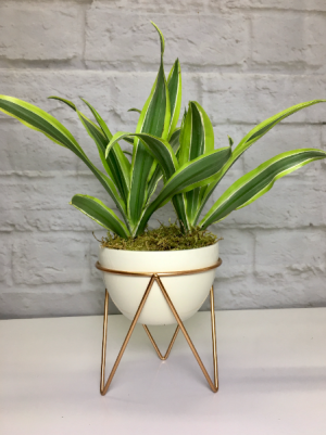 Striped Dracaena  in Pottery in South Milwaukee, WI | PARKWAY FLORAL INC.