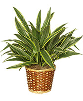 STRIPED DRACAENA PLANT  Dracaena deremensis  'Warneckei'