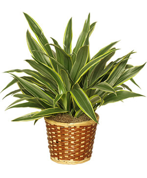 STRIPED DRACAENA PLANT  Dracaena deremensis  'Warneckei' in Mobile, AL | ZIMLICH THE FLORIST