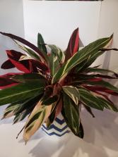 Stromanthe Triostar Plant