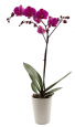 Stunning Orchid Plant Purple or White