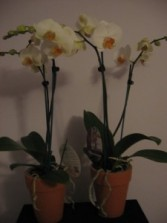 Stunning Orchid Plant Double Spike Orchid