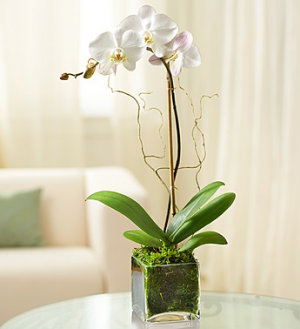 Stunning Orchid Plant Sale $49.99Now $42.49 Plant in Sunrise, FL | FLORIST24HRS.COM