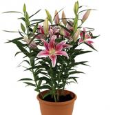 Stunning Star Gazer Lily Plants