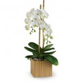 Stylish Double White Phalaenopsis Orchid Long Lived Orchid Plant