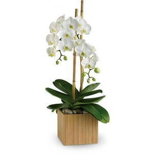 Stylish Double White Phalaenopsis Orchid Long Lived Orchid Plant in Las Vegas, NV | AN OCTOPUS'S GARDEN