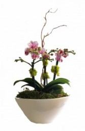 Stylish Orchids Potted